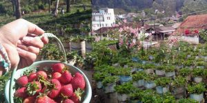 Agrowisata Kebun Strawberry Ciwidey