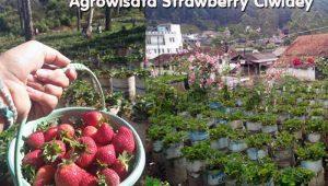 Agrowisata Kebun Strawberry Ciwidey